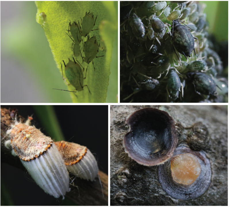Some sap-sucking bugs. Top left: Aphis coreopsidis; top right: Aphis sambuci; bottom left: Icerya purchasi, bottom right: Melanspis obscura.